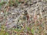 Lapland Longspur - Calcarius lapponicus