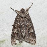 9980 – Acadian Sallow – Xylotype arcadia