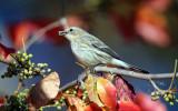 Yellow-rumped Warbler - Setophaga coronata (eating poison ivy berries)