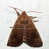 9936 – Morrison's Sallow – Eupsilia morrisoni