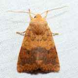 9957 – Bicolored Sallow – Sunira bicolorago