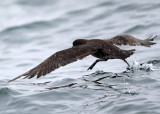 Sooty Shearwater - Puffinus griseus