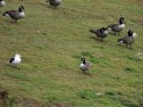 Cackling Goose - Branta hutchinsii