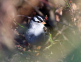 Sparrows - genus Zonotrichia