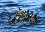 Harlequin Duck - Histrionicus histrionicus