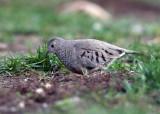 Common Ground Dove - Columbina passerina