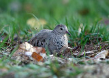 Common Ground Dove - Columbina passerina