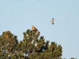 Northern Mockingbird harassing a Rough-legged Hawk