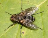 Microphthalma nr. ruficeps