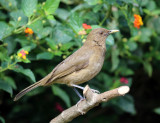 Costa Rican Finch's & Thrushes