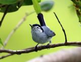Tropical Gnatcatcher - Polioptila plumbea