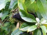 Grayish Saltator - Saltator coerulescens