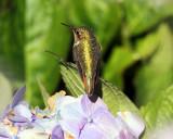 Volcano Hummingbird - Selasphorus flammula