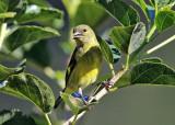 Yellow-bellied Siskin - Spinus xanthogastrus