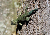 Spiny Green Lizard - Sceloporus malachiticus