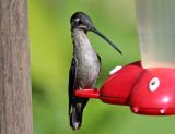 Magnificent Hummingbird - Eugenes fulgens (female)