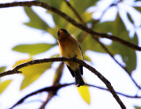 Tufted Flycatcher - Mitrephanes phaeocercus