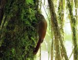 Spot-crowned Woodcreeper - Lepidocolaptes affinis