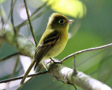 Yellowish Flycatcher - Empidonax flavescens