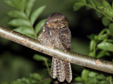 Chuck-wills-widow - Antrostomus carolinensis