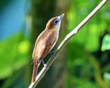 Cinnamon Becard - Pachyramphus cinnamomeus