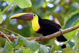 Chestnut-mandibled Toucan - Ramphastos swainsonii