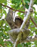 Three-Toed Sloth - Bradypus variegatus