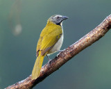 Buff-throated Saltator - Saltator maximus