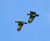 Mealy Parrots - Amazona farinosa
