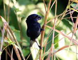 Blue-black Grosbeak - Cyanocompsa cyanoides