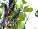 Brown-hooded Parrot - Pyrilia haematotis