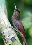 Northern Barred Woodcreeper - Dendrocolaptes sanctithomae