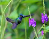 Charming Hummingbird - Amazilia decora