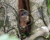 Rufous Tree Rat - Diplomas labilis