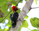 Pale-billed Woodpecker - Campephilus guatemalensis
