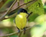 Common Tody-Flycatcher - Todirostrum cinereum