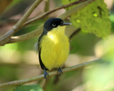 Common Tody-Flycatcher - Todirostrum cinereum