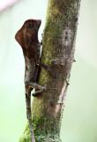 Helmeted Iguana - Corytophanes cristatus