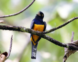Gartered Trogon - Trogon caligatus