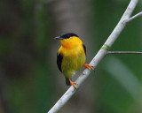 Orange-collared Manakin - Manacus aurantiacus