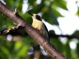 Golden-naped Woodpecker - Melanerpes chrysauchen