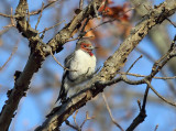 Red-headed Woodpecker - Melanerpes erythrocephalus (immature)