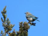 Mountain Bluebird - Sialia currucoides (female)