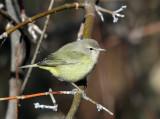 Orange-crowned Warbler - Oreothlypis celata