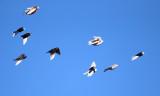 Rock Pigeons - Columba livia
