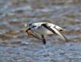 Sanderling - Calidris alba (carrying a seaworm)