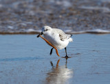 Sanderling - Calidris alba (with a seaworm)
