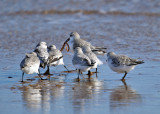 Sanderlings - Calidris alba (fighting over a seaworm)