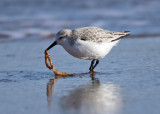 Sanderling - Calidris alba (eating a seaworm)