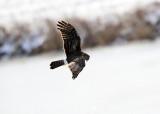 Northern Harrier - Circus cyaneus
